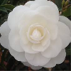 Camellia Early Pearly flower